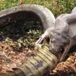 serpente mangia coccodrillo
