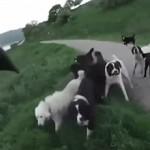 attacato da 25 cani
