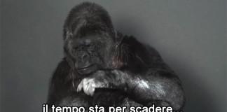 koko-gorilla-comunica-linguaggio-segni-messaggio-umanita